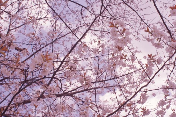 桜と「スウィートライトピンク」_c0168669_17283184.jpg