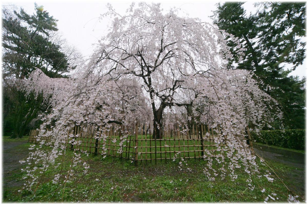 京都御苑 桜 2010_f0021869_0351825.jpg