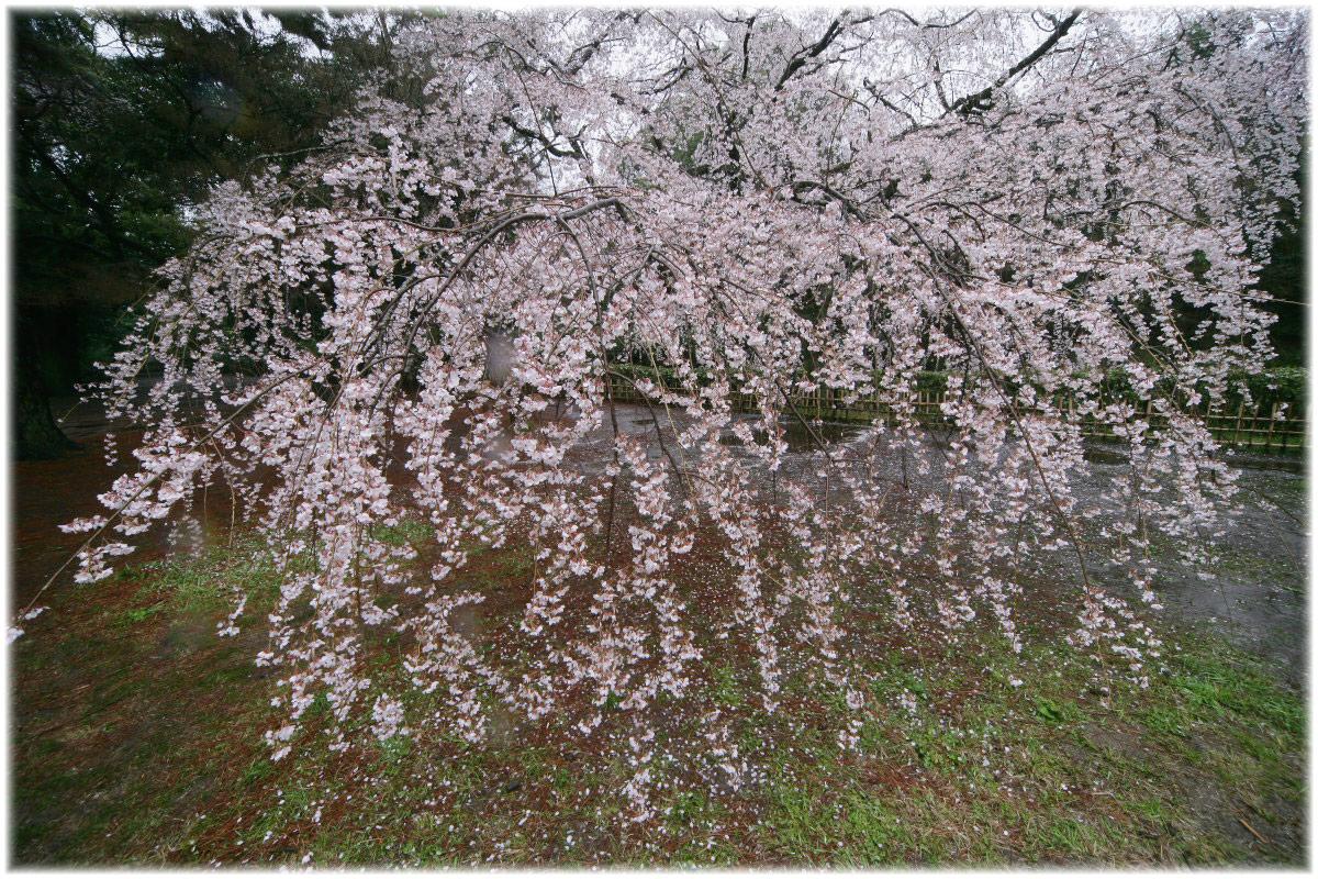 京都御苑 桜 2010_f0021869_0355286.jpg