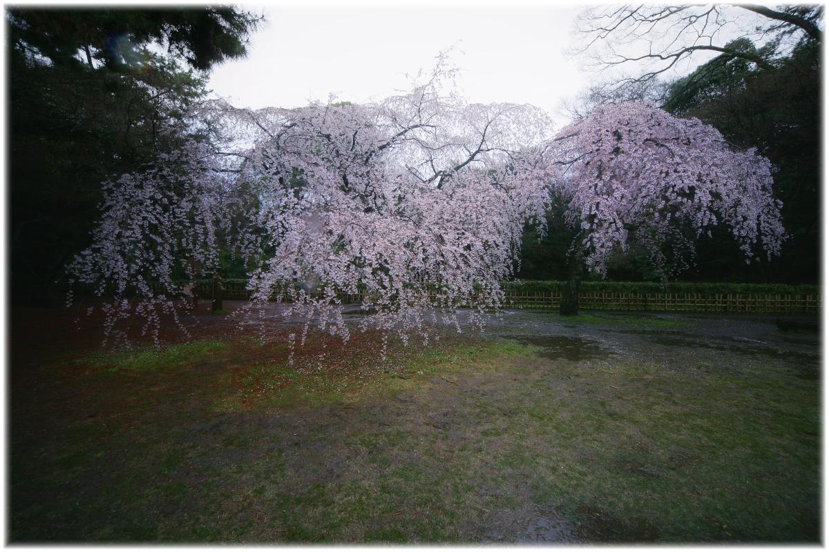 京都御苑 桜 2010_f0021869_0361097.jpg