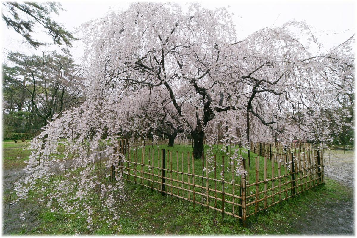 京都御苑 桜 2010_f0021869_0363012.jpg