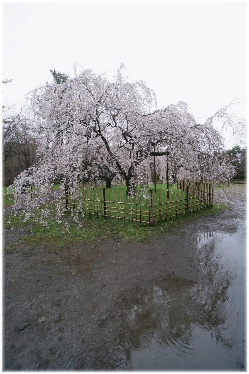 京都御苑 桜 2010_f0021869_0372482.jpg