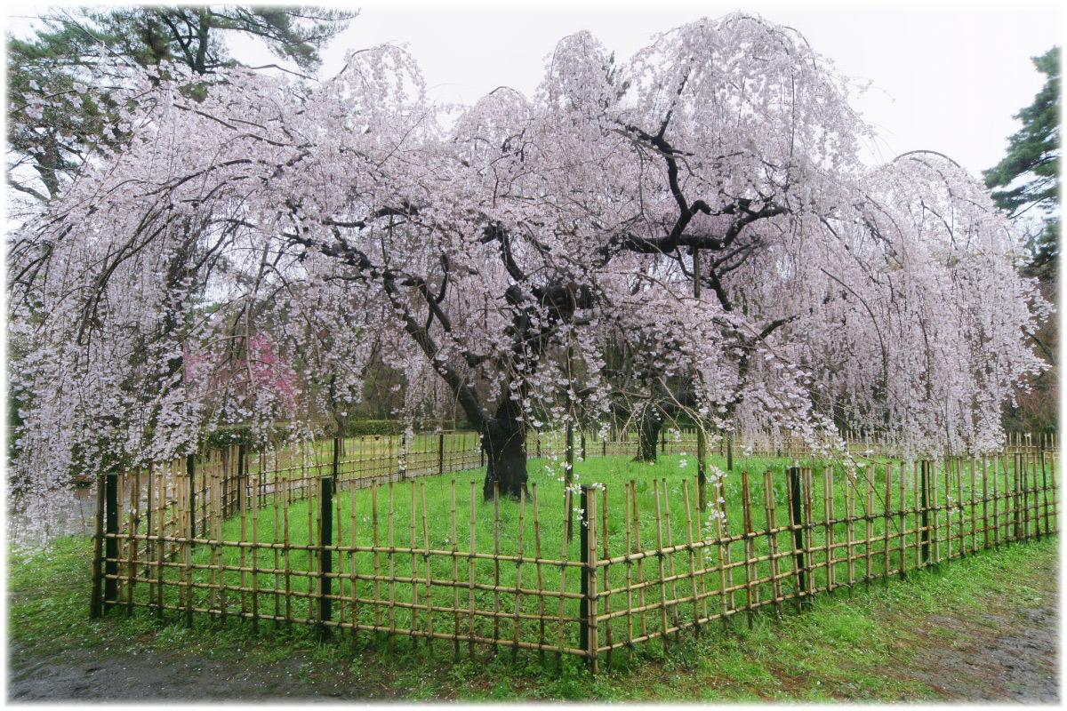 京都御苑 桜 2010_f0021869_056251.jpg