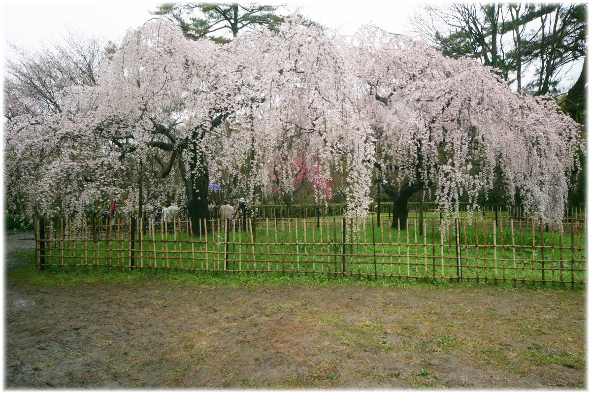 京都御苑 桜 2010_f0021869_0594467.jpg