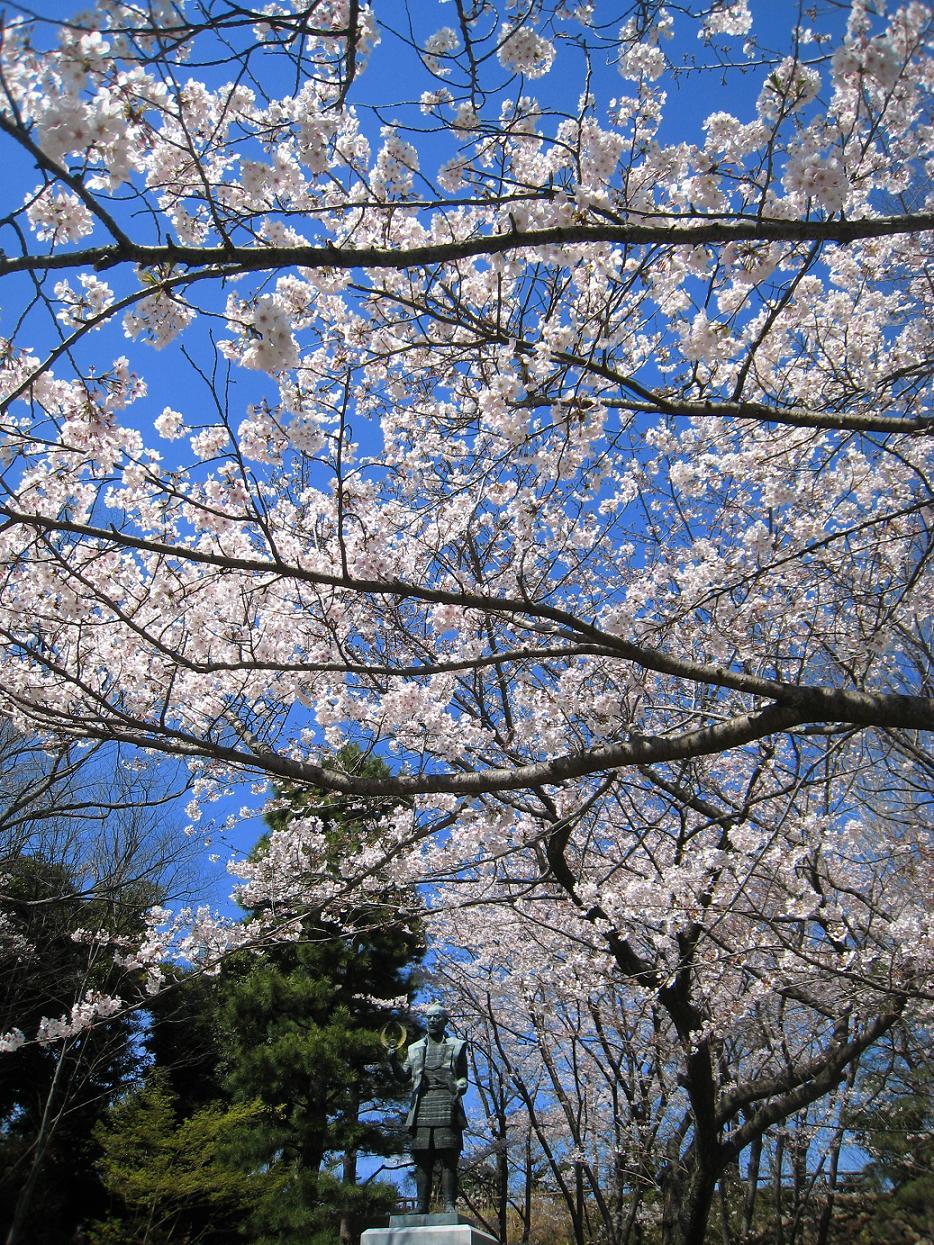 浜松城桜満開_a0107574_002988.jpg