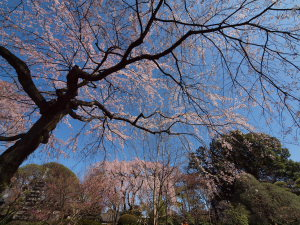 しだれ桜を見に川越まで..._a0027275_19593582.jpg