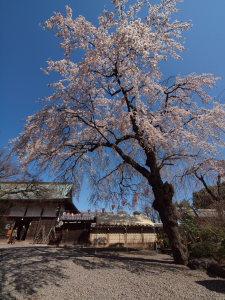 しだれ桜を見に川越まで..._a0027275_200716.jpg