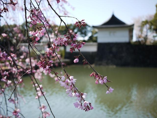 皇居東御苑の桜_a0127090_205959.jpg