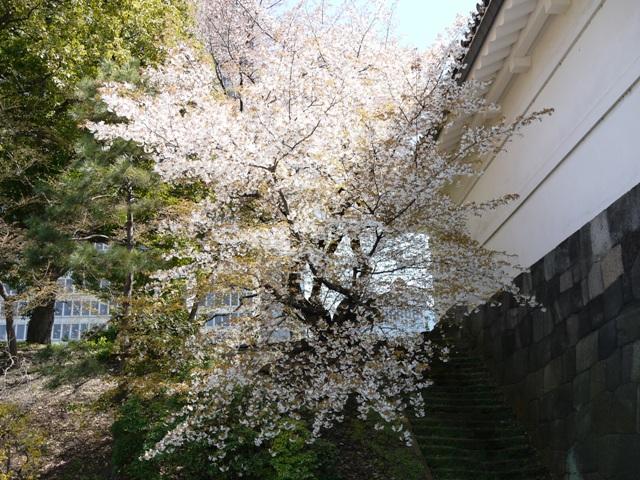 皇居東御苑の桜_a0127090_20595916.jpg