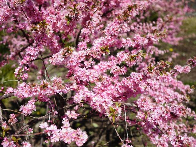 皇居東御苑の桜_a0127090_2113782.jpg
