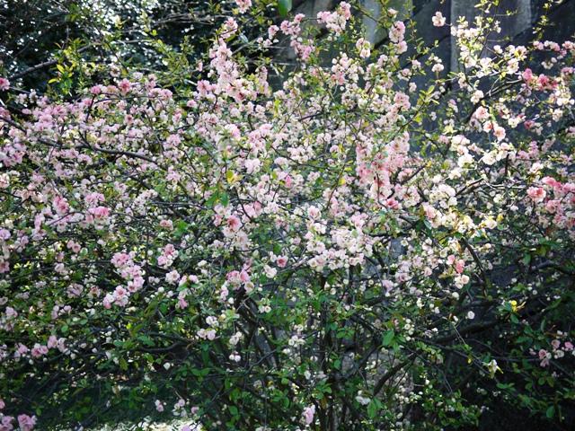 皇居東御苑の桜_a0127090_211563.jpg