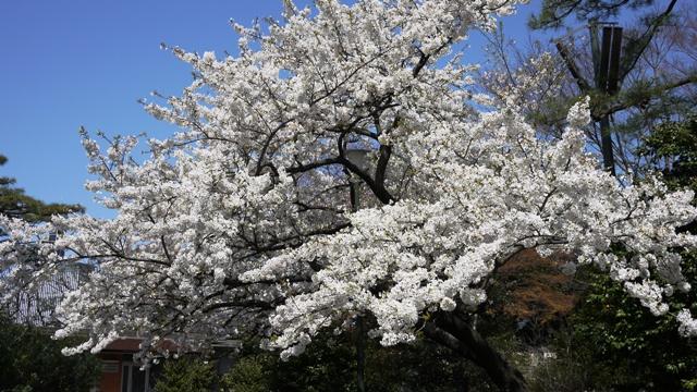 皇居東御苑の桜_a0127090_2133261.jpg