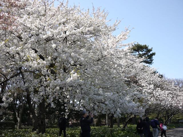 皇居東御苑の桜_a0127090_2141784.jpg