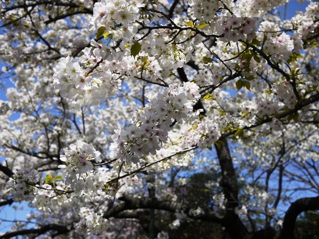 皇居東御苑の桜_a0127090_214225.jpg