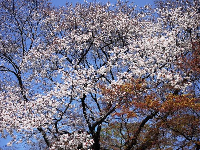 皇居東御苑の桜_a0127090_2144331.jpg