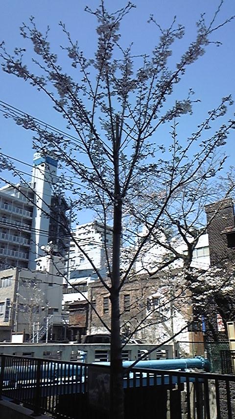 内川の桜。_a0112393_1259029.jpg