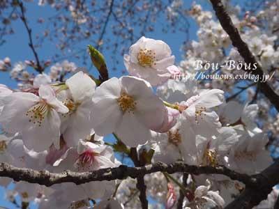 ぷちお花見_d0128697_18113020.jpg