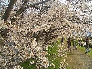 桜が満開です!_a0130305_9552513.jpg