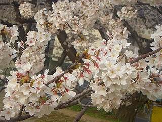 桜が満開です!_a0130305_9554828.jpg