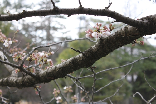 引き続き桜レポート_f0229508_18503760.jpg