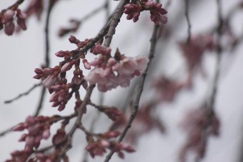 引き続き桜レポート_f0229508_18504917.jpg