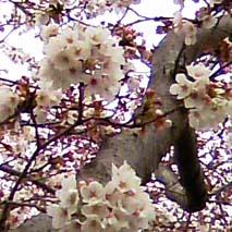桜_a0166313_15525290.jpg