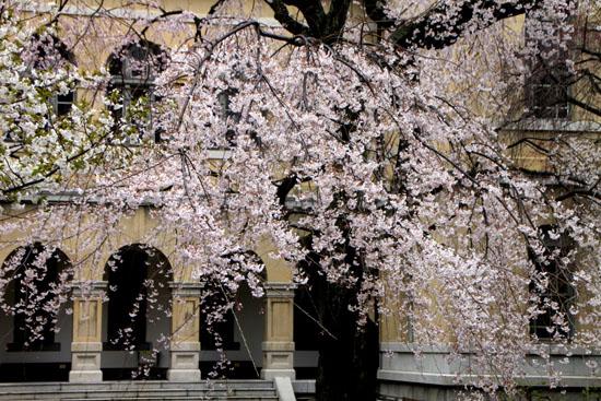 京都府庁のさくら_e0048413_23132035.jpg