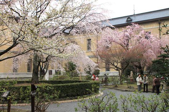 京都府庁のさくら_e0048413_23133294.jpg