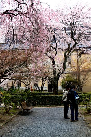 京都府庁のさくら_e0048413_23134933.jpg