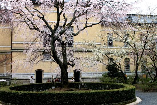 京都府庁のさくら_e0048413_2313536.jpg