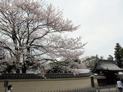 五十鈴川 桜情報_f0129726_21422146.jpg