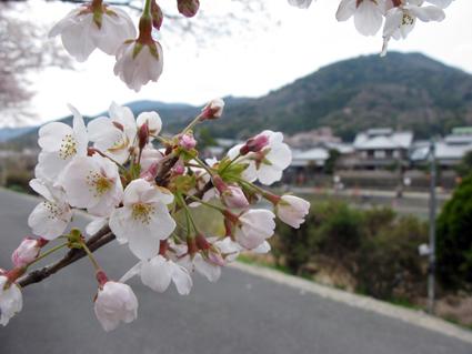 五十鈴川 桜情報_f0129726_2151296.jpg