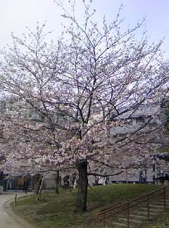 桜。_b0047333_1148324.jpg