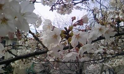 桜。_b0047333_11484765.jpg