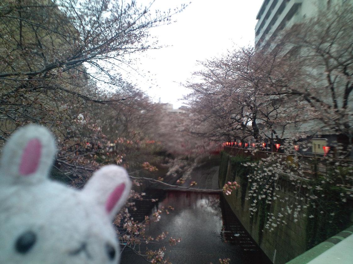 桜前線 of 目黒川 NOW_e0173239_6485098.jpg