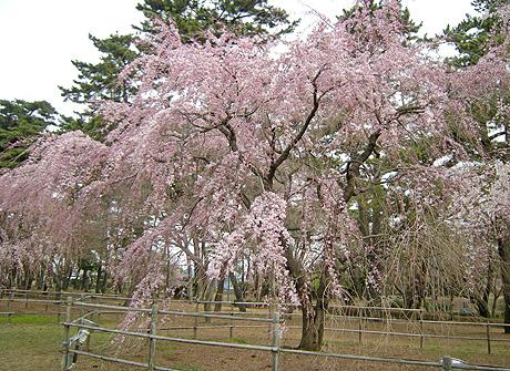3月31日 敷島公園のしだれ桜_a0001354_22252917.jpg