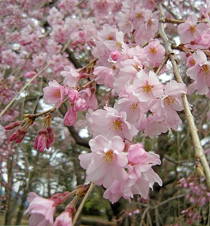 3月31日 敷島公園のしだれ桜_a0001354_22262438.jpg
