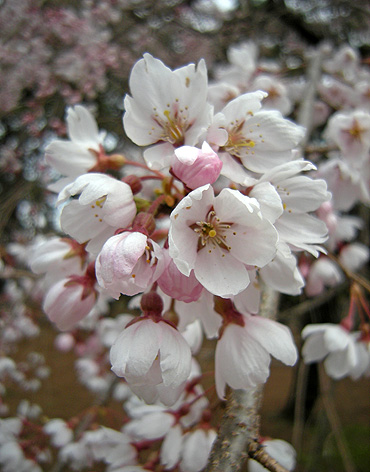 3月31日 敷島公園のしだれ桜_a0001354_22263664.jpg