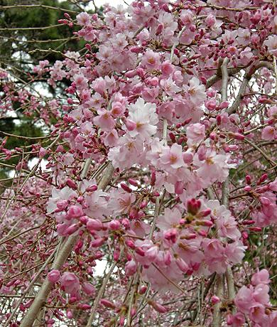 3月31日 敷島公園のしだれ桜_a0001354_2226504.jpg