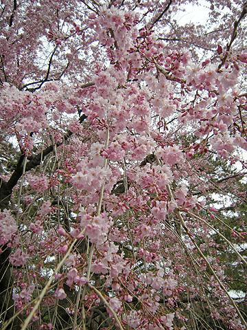 3月31日 敷島公園のしだれ桜_a0001354_2226937.jpg