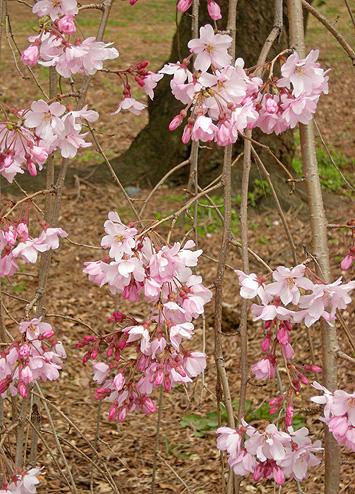 3月31日 敷島公園のしだれ桜_a0001354_22271573.jpg
