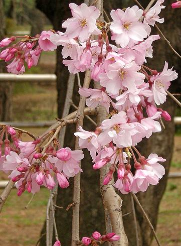 3月31日 敷島公園のしだれ桜_a0001354_2227229.jpg