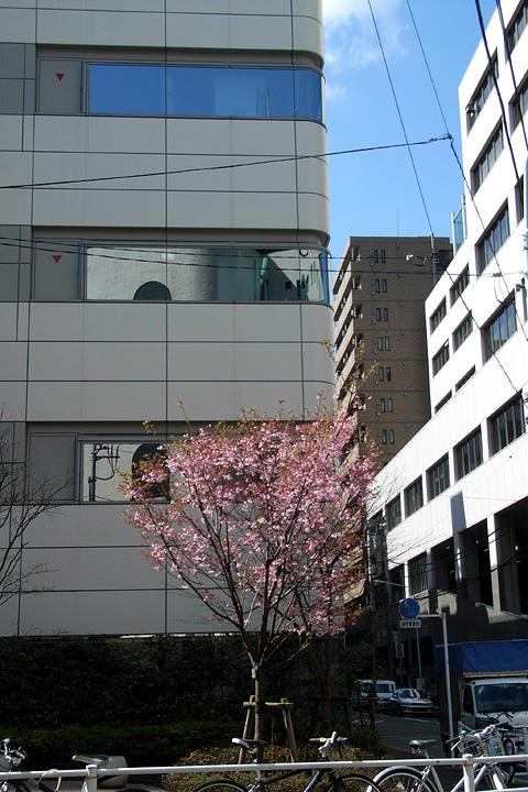 道ばたの桜 (東京 3/30・31)_b0006870_1253139.jpg