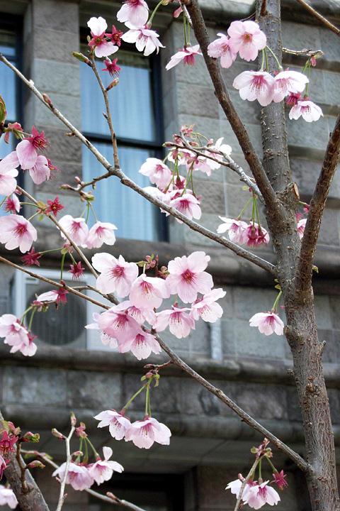 道ばたの桜 (東京 3/30・31)_b0006870_12531694.jpg