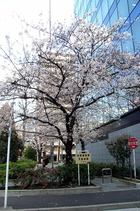 道ばたの桜 (東京 3/30・31)_b0006870_12535332.jpg