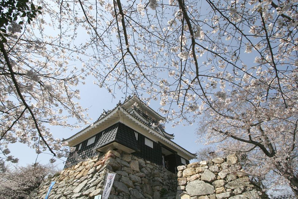 浜松城桜満開_a0107574_012736.jpg