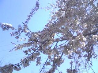 雪と桜_b0016474_16434795.jpg