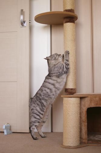 猫タワーで爪を研ぐお嬢さん