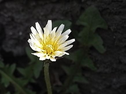 白いタンポポ♪_b0105897_1394665.jpg