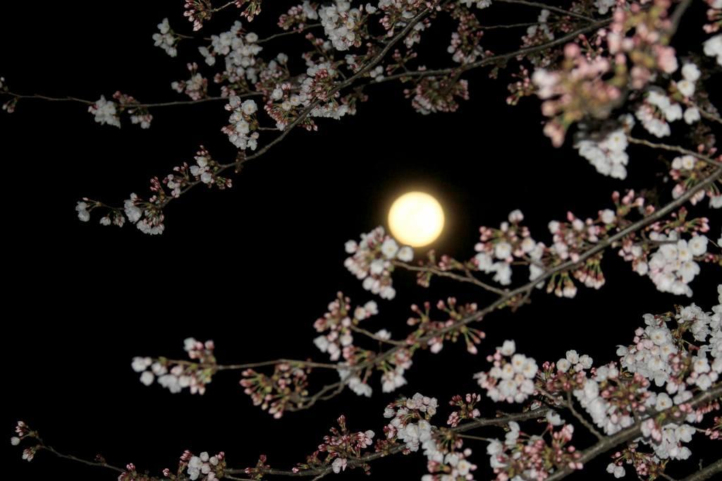 見納めの「菜の花カワセミ」/今年2回目のブルームーン_b0024798_548107.jpg